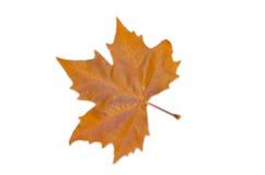 挪威枫树叶子-秋天颜色 库存图片