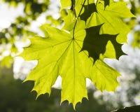 挪威枫树树叶子在早晨阳光,选择聚焦,浅DOF下 库存照片