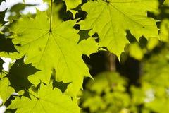 挪威枫树树叶子在早晨阳光,选择聚焦,浅DOF下 免版税库存照片
