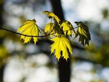 挪威枫树树叶子由在黄昏,选择聚焦,浅DOF的阳光backlited 库存照片