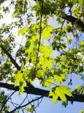 挪威枫树树叶子由在黄昏,选择聚焦,浅DOF的阳光backlited 库存图片
