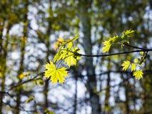 挪威枫树树叶子由阳光,选择聚焦,浅DOF backlited 图库摄影