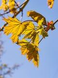挪威枫树树叶子由阳光,选择聚焦,浅DOF backlited 库存照片
