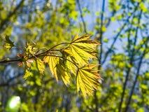 挪威枫树树叶子由阳光,选择聚焦,浅DOF backlited 库存图片
