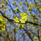 挪威枫树树叶子由阳光,选择聚焦,浅DOF backlited 免版税库存图片