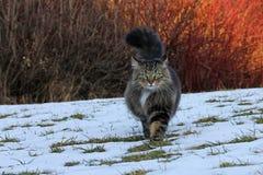 挪威森林猫狩猎在冬天 图库摄影