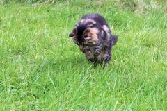 挪威森林猫 库存照片
