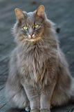 挪威森林猫 免版税库存图片