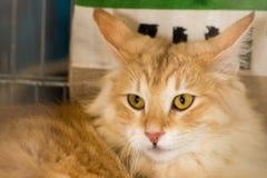 挪威森林画象的猫关闭 免版税图库摄影
