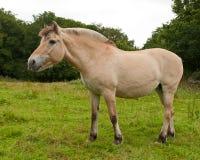 挪威海湾horse.isolated 免版税库存照片