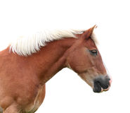 挪威海湾horse.isolated 免版税图库摄影