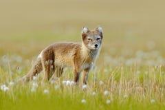 从挪威的野生动物 白狐,狐狸雷鸟属,在自然栖所 Fox在有花的草草甸,斯瓦尔巴特群岛,挪威 是 免版税图库摄影