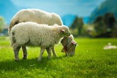 挪威的绵羊 免版税库存照片