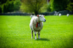 挪威的绵羊 库存照片