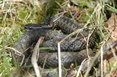 挪威蛇 库存照片