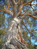 挪威-古老的松树 库存图片