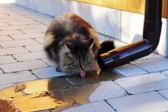 挪威从雨流失的森林猫饮用的雨水 免版税库存照片