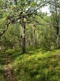 挪威treeline 免版税库存图片