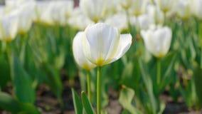 振翼在美好的背景的风的装饰白色郁金香 影视素材