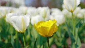 振翼在美好的背景的风的装饰黄色和白色郁金香 股票视频