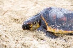 挽救乌龟 免版税库存图片