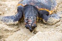 挽救乌龟 图库摄影