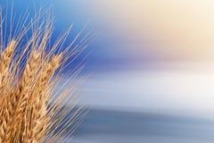 捆大麦 免版税库存图片