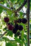 捆绑在樱桃树的樱桃 库存图片