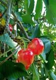 捆绑在樱桃树的樱桃 免版税图库摄影