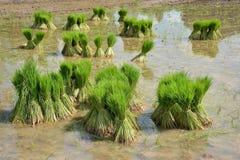 捆绑米树 库存照片