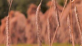 捆麦子剥落,黑麦flackes特写镜头 繁荣的标志 麦子种子,在剥落的黑麦种子,漂移在 影视素材