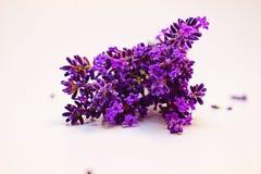 捆绑在白色背景的淡紫色 库存图片