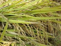 捆绑在米领域的稻米 免版税库存图片