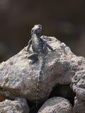 捉住一些太阳的蜥蜴 库存照片