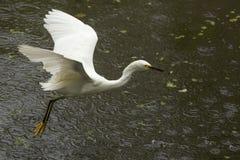 捉住一只青蛙的白鹭在佛罗里达沼泽地 免版税库存图片