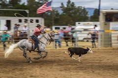 捉住一头黑褐色小牛的一匹灰色马的牛仔在圈地展示 图库摄影