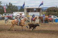 捉住一头黑褐色小牛的马的牛仔 免版税库存照片