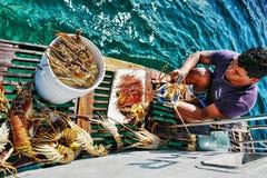 捉住在古巴的龙虾 库存照片