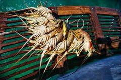 捉住在古巴的龙虾 免版税图库摄影