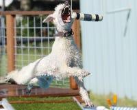 捉住在空中的一台防撞器的长卷毛狗 库存照片