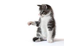 捉住某事的小的小猫 免版税库存图片