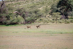 捉住跳羚的两头猎豹 免版税库存图片