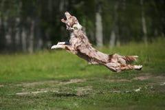 捉住飞碟圆盘的博德牧羊犬 库存照片