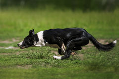 捉住飞碟圆盘的博德牧羊犬 免版税库存图片