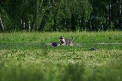 捉住飞碟圆盘的博德牧羊犬 库存图片