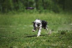 捉住飞碟圆盘的博德牧羊犬 免版税图库摄影