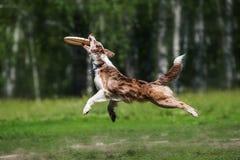 捉住飞碟圆盘的博德牧羊犬 免版税库存照片