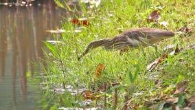 捉住食物的中国池塘苍鹭ardeola酒神鸟在池塘 影视素材