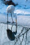 捉住鱼的极大的空白白鹭临近冰 免版税库存照片