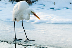 捉住鱼的极大的空白白鹭临近冰 库存照片